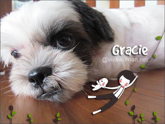 Gracie-Shihtzu